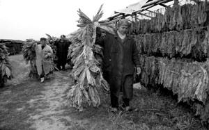 Сушка табачных листьев